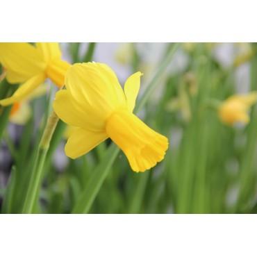 Narcissus 'Swift Arrow'