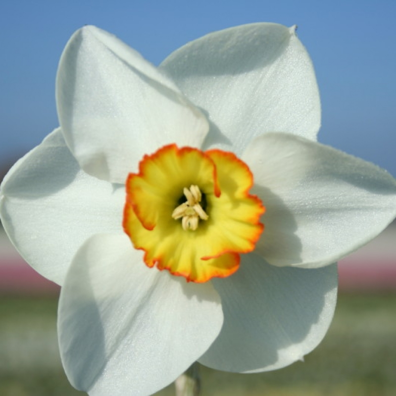 Narcissus 'Ravenhill'