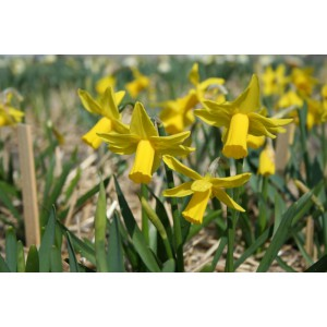 Narcissus 'Suzie Dee'