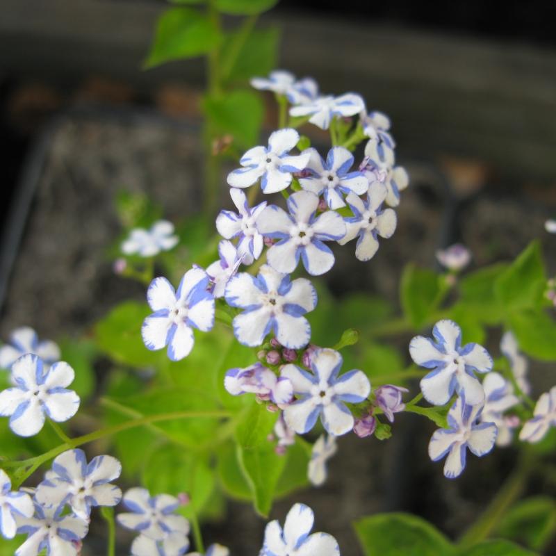 Brunnera macrophylla 'Jennifer'
