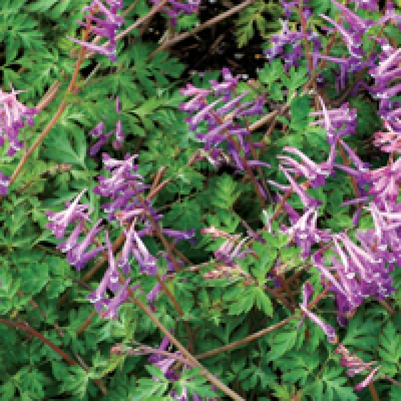 Corydalis 'Blackberry Wine'